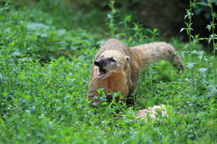 South american coati. Roating South american coati in the grass Royalty Free Stock Photo