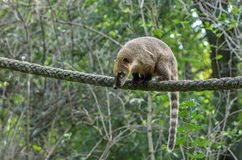 South American coati on the rope Royalty Free Stock Photos