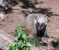 South American Coati sits on the ground and  rests on a sunny day. South American Coati sits on the ground and rests on a sunny day Royalty Free Stock Images