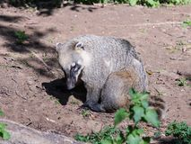South American Coati sits on the ground and  rests on a sunny day. South American Coati sits on the ground and rests on a sunny day Stock Photos