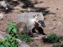 South American Coati sits on the ground and  rests on a sunny day. South American Coati sits on the ground and rests on a sunny day Royalty Free Stock Photo