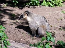 South American Coati sits on the ground and  rests on a sunny day. South American Coati sits on the ground and rests on a sunny day Stock Photo