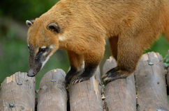 South american coati Royalty Free Stock Photo