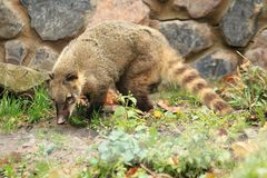 South American coati. In the soil Stock Image