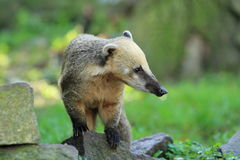 South American coati. Standing on the rock Royalty Free Stock Images