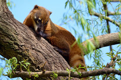 South American Coati in tree Stock Photography