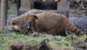 South american coatis Royalty Free Stock Photo