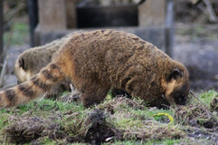 South american coatis Royalty Free Stock Photography