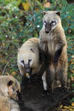 South american coatis Royalty Free Stock Images