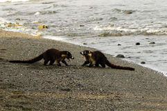 South American coatis (Nasua nasua) Stock Image