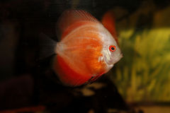 South american discus fish. South american brazilian discus fish Stock Photos