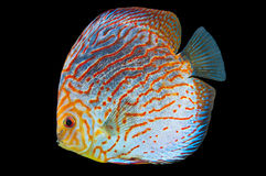 South American fish Discus 1 Royalty Free Stock Images