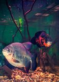 Aquariums. South-american freshwater aquarium fishes royalty free stock photo