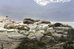South American fur seal (Arctocephalus australis) stock photography