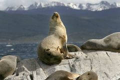 South American fur seal (Arctocephalus australis) Royalty Free Stock Photography
