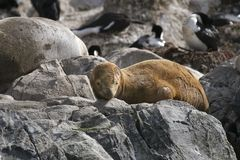 South American fur seal (Arctocephalus australis) Royalty Free Stock Image