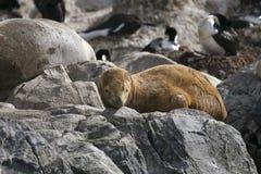 South American fur seal (Arctocephalus australis) royalty free stock image
