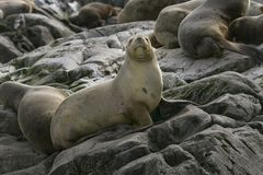 South American fur seal (Arctocephalus australis) Stock Photo