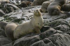 South American fur seal (Arctocephalus australis) Stock Photo