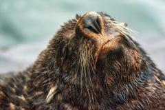 South American fur seal Royalty Free Stock Photos