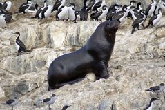 South American fur seal at the front of an imperial shag colony near Ushuaia, Argentina. South American fur seal - Arctocephalus australis - standing in front of stock photo