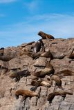 South American Fur Seal Colony in Ushuaia. Patagonia Royalty Free Stock Image