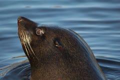 South American fur seal head Royalty Free Stock Photo
