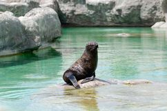 A South American Fur Seal is resting on a rock royalty free stock photography