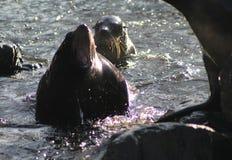 South American fur seal swimming Royalty Free Stock Image