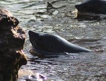 South American fur seal swimming Stock Images