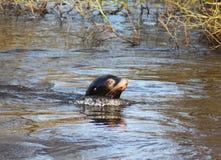 South American fur seal swimming Stock Photo