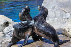 South American Fur Seals Stock Photo