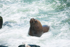 South American fur seals Stock Photos