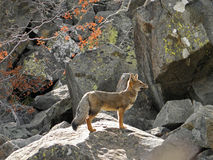 South American gray fox in the Andes Mountain Royalty Free Stock Photos