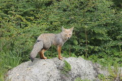 South American gray fox Lycalopex griseus Royalty Free Stock Photo