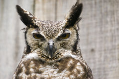 South American Great Horned Owl Royalty Free Stock Image