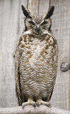 South American Great Horned Owl Stock Image