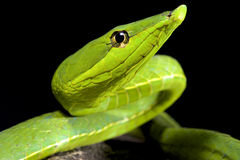 South American green vine snake, Oxybelis fulgidus. The South American green vine snake, Oxybelis fulgidus, is a slender, twig mimicing snake species found stock photography