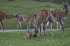 South American Grey Fox amongst Guanaco. Patagonia, Chile. South American Grey Fox [Lycalopex griseus] searching for food amongst a group of Guanaco [Lama Royalty Free Stock Photography