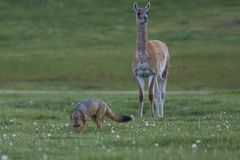 South American Grey Fox amongst Guanaco. Patagonia, Chile. South American Grey Fox [Lycalopex griseus] searching for food amongst a group of Guanaco [Lama Stock Images