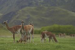 South American Grey Fox amongst Guanaco. Patagonia, Chile. South American Grey Fox [Lycalopex griseus] searching for food amongst a group of Guanaco [Lama Royalty Free Stock Photo