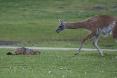 South American Grey Fox and Guanaco. Patagonia, Chile. South American Grey Fox Lycalopex griseus crouching in front of a Guanaco Lama guanicoe in Valle Stock Image