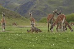 South American Grey Fox amongst Guanaco. Patagonia, Chile. South American Grey Fox [Lycalopex griseus] searching for food amongst a group of Guanaco [Lama Stock Photos