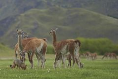 South American Grey Fox amongst Guanaco. Patagonia, Chile. South American Grey Fox [Lycalopex griseus] searching for food amongst a group of Guanaco [Lama Stock Image