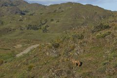 South American Grey Fox in Patagonia, Chile. South American Grey Fox Lycalopex griseus on a sunny hillside in Valle Chacabuco, northern Patagonia, Chile Royalty Free Stock Photo