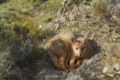 South American Grey Fox in Patagonia, Chile. South American Grey Fox [Lycalopex griseus] on a sunny hillside in Valle Chacabuco, northern Patagonia, Chile Stock Photography