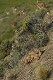 South American Grey Fox in Patagonia, Chile. South American Grey Fox [Lycalopex griseus] on a sunny hillside in Valle Chacabuco, northern Patagonia, Chile Royalty Free Stock Photography
