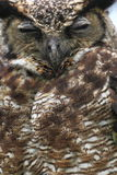 South american horned owl Royalty Free Stock Image