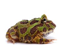 American horned frog isolated on white background. South American horned pac man frog isolated on white background Stock Images