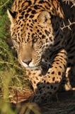 South american jaguar. Jaguar stalking prey in a park Royalty Free Stock Photo